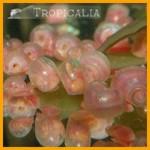 Planorbarius corneus rosa