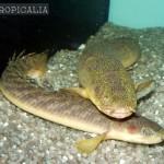 polypterus polli