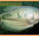 Trichogaster sumatranus