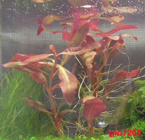 Alternanthera reineckii lilacina