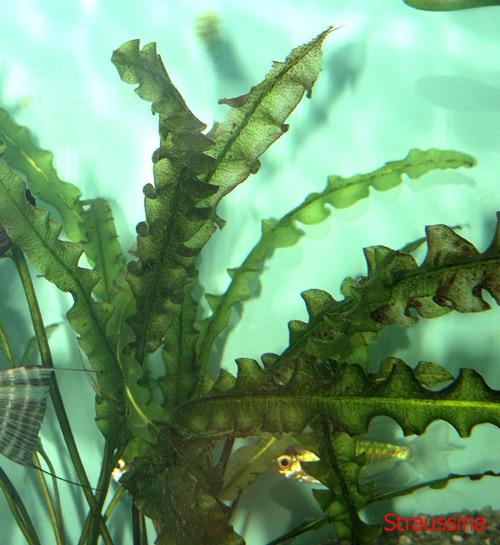 Aponogeton capuronii
