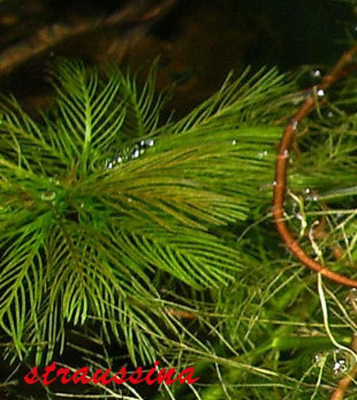 Ceratophyllum demersum rotstengeling