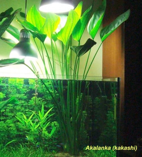 Echinodorus grandiflorus ssp. grandiflorus
